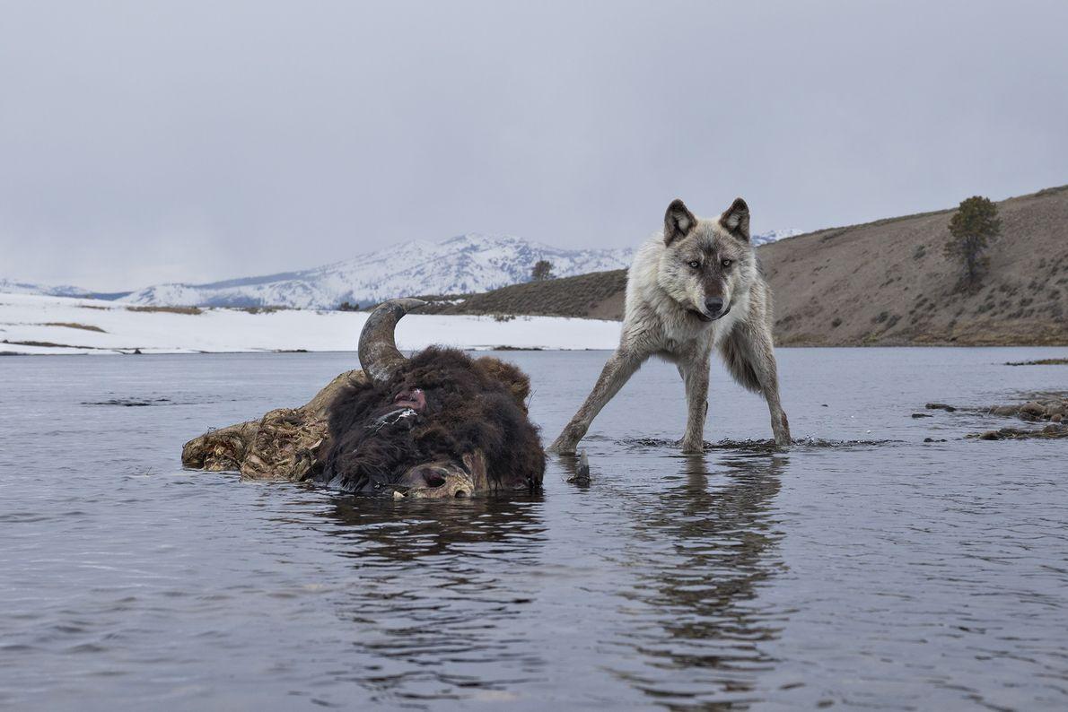 Después de generaciones de ausencia, los lobos fueron devueltos al Parque Nacional de Yellowstone en 1995. ...
