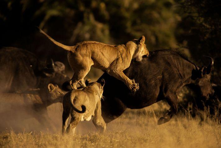 Las leonas africanas se abalanzan sobre un búfalo africano en el Delta del Okavango en Botswana.