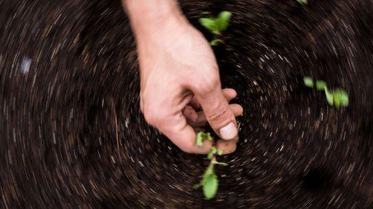 Las manos de un horticultor mientas riega las semillas en su huerta familiar en las afueras ...