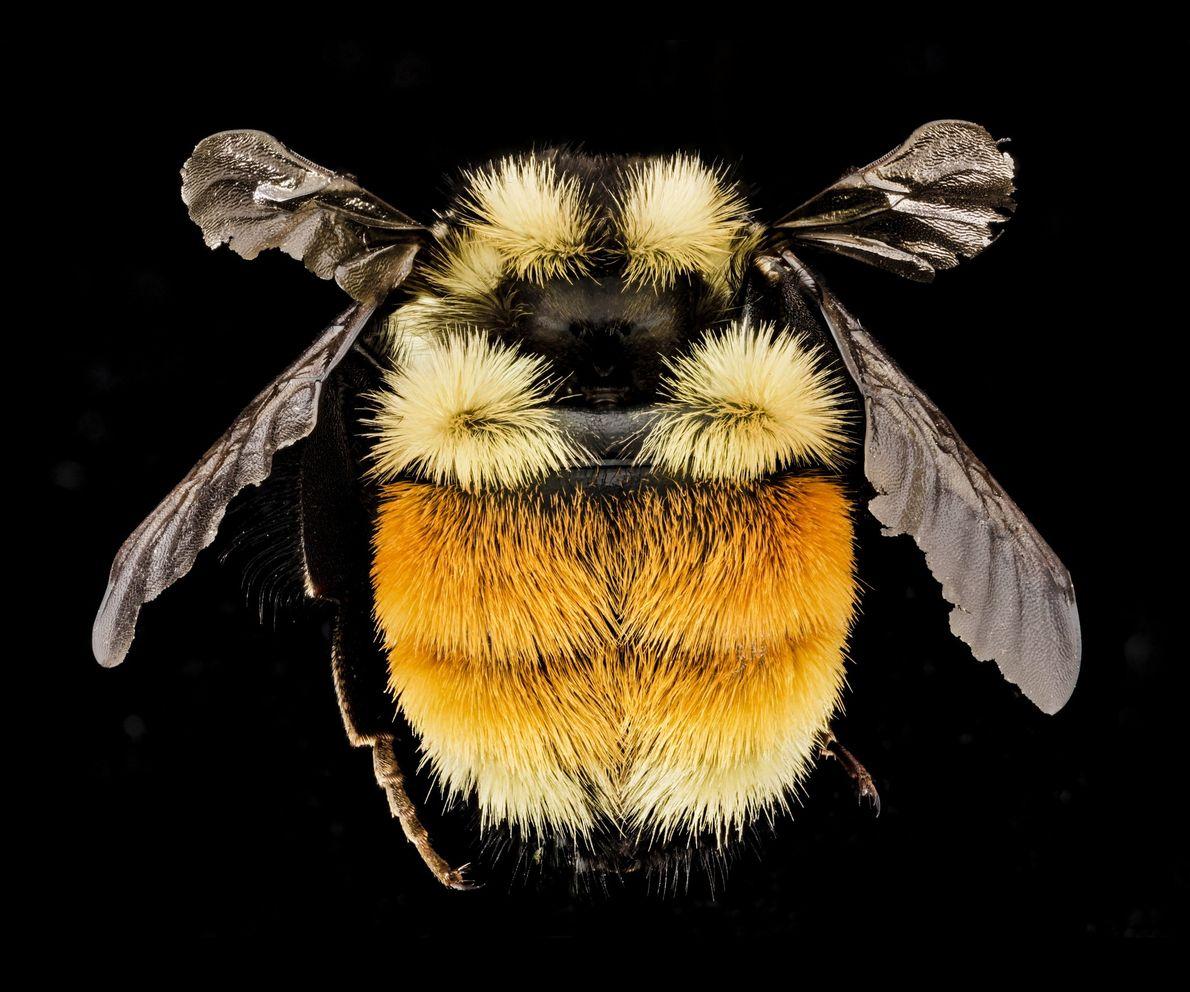 """Este abejorro tricolor (""""Bombus ternarius"""") es de Adirondacks, estado de Nueva York."""