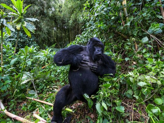 ¿Por qué se golpean el pecho los gorilas macho? Un nuevo estudio ofrece pruebas intrigantes