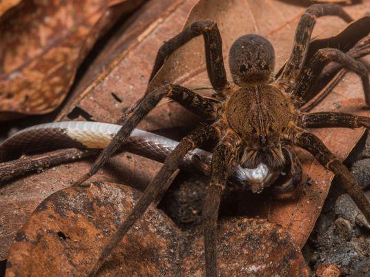 Arañas comen serpientes en todo el mundo