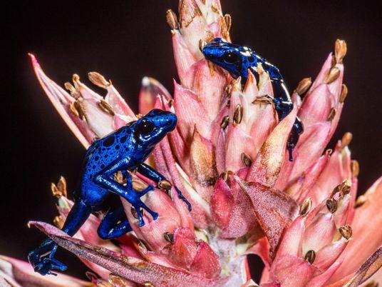 ¿Por qué los animales venenosos no se envenenan a sí mismos?