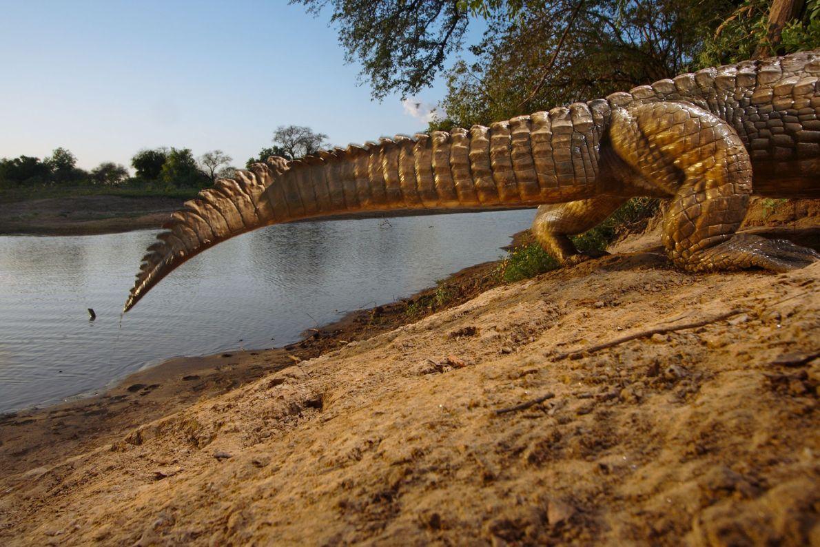 Una cámara remota captura el extremo de un cocodrilo que se arrastra hasta su guarida en ...