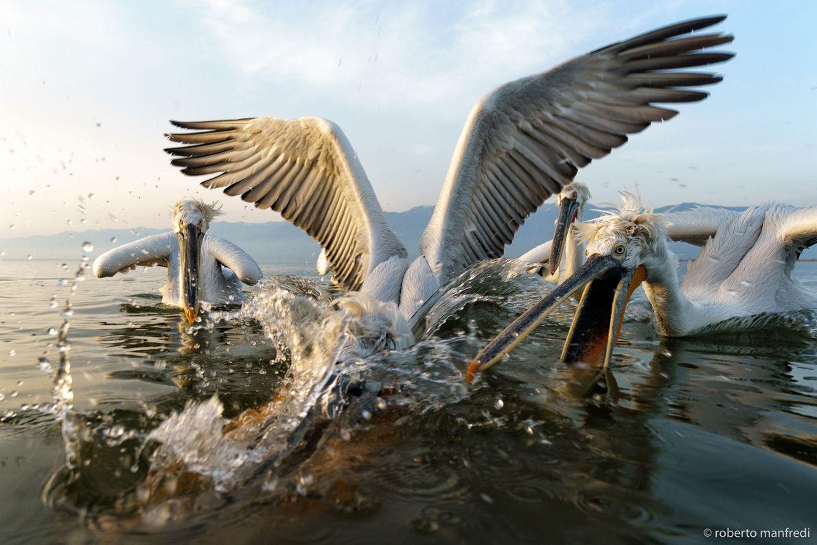 Pelícanos riñen en Grecia.