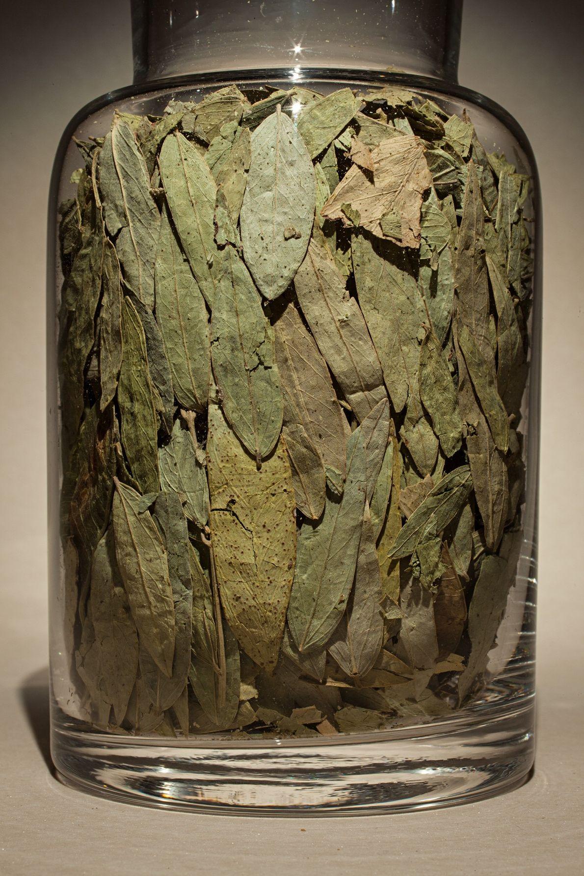 Nombre común: Hoja de Cassia Latín: Cassia angustifolia Chino: Fan xie ye Usos: Detiene el sangrado, alivia el estreñimiento