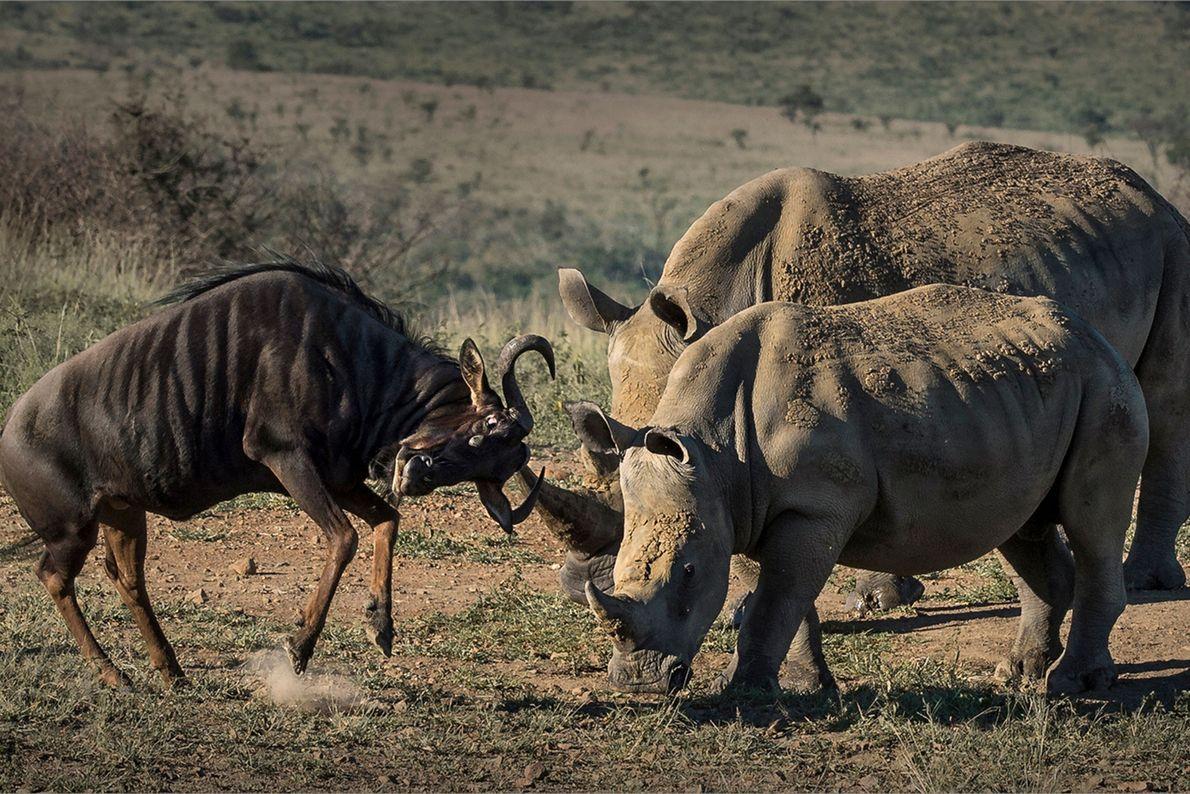 Rinocerontes se enfrentan contra un ñu.