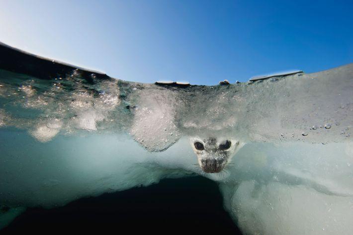 Desde un trozo de hielo muy disminuido en el Golfo de San Lorenzo, una cría de ...