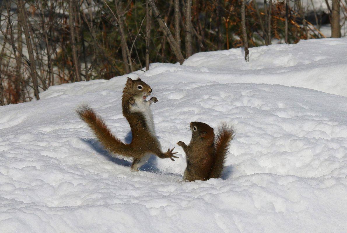 Ardillas rojas pelean en Ontario.