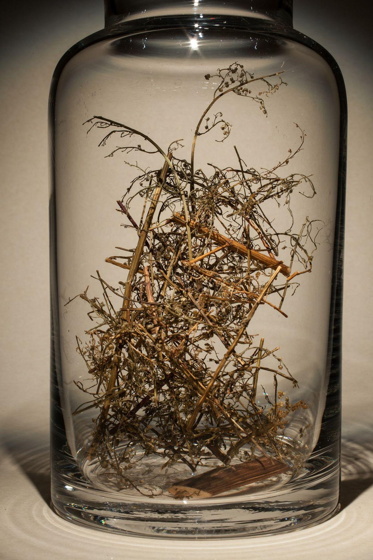Nombre común: Ajenjo dulce o ajenjo chino Latín: Artemisia annua Chino: Qing hao Usos: Tratamiento contra la malaria