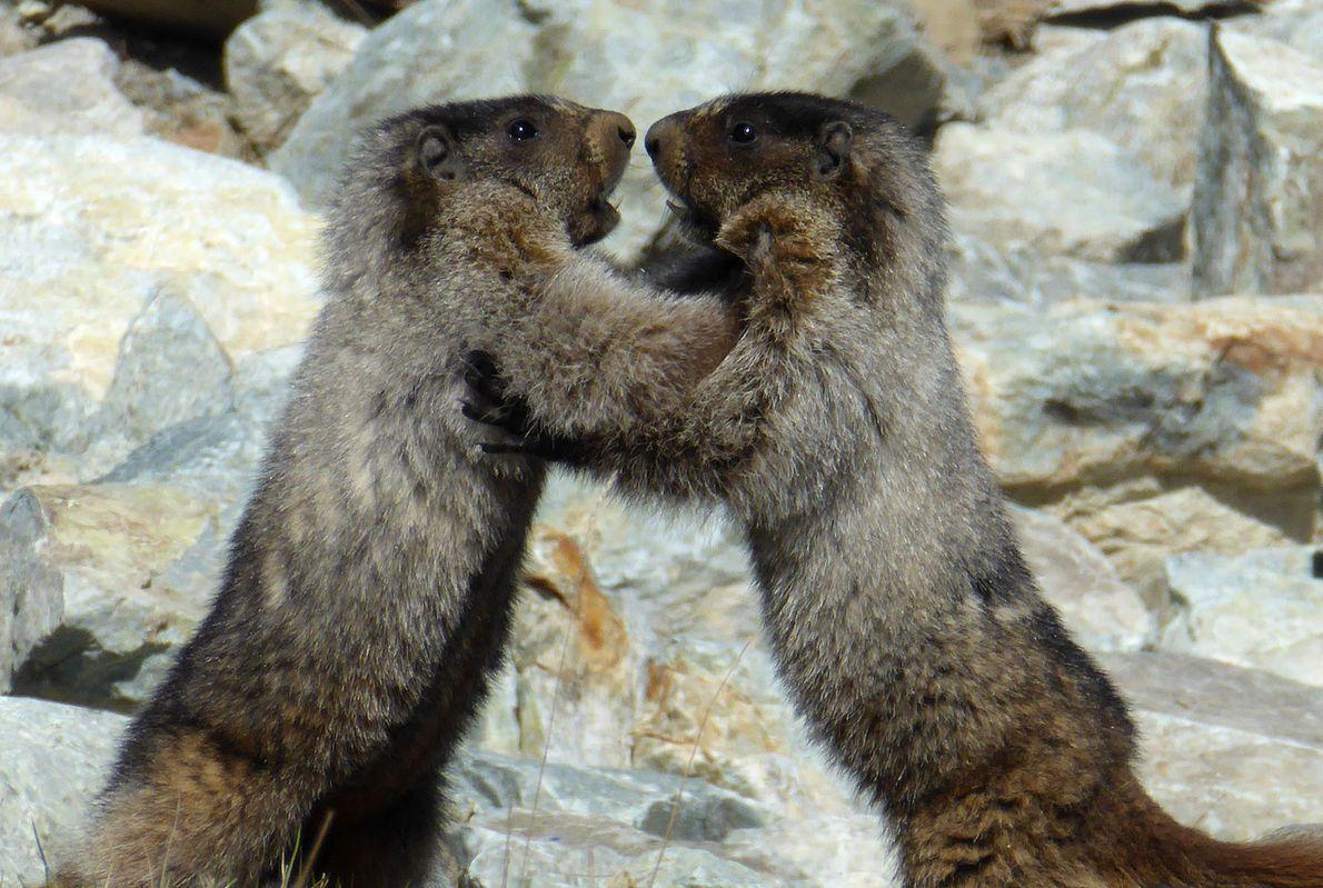 Marmotas pelean en Canadá.