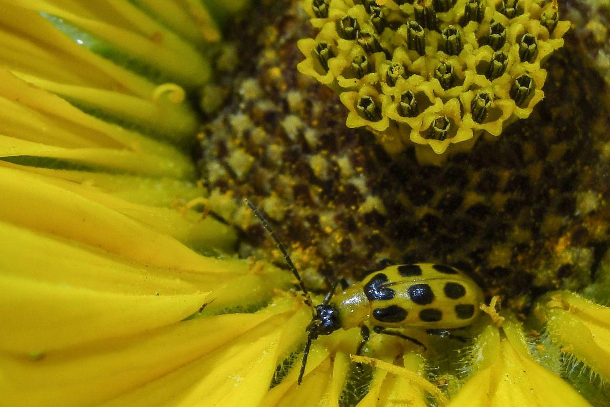 Escarabajo manchado del pepino. Ciudad de Nueva York, Nueva York, Estados Unidos.