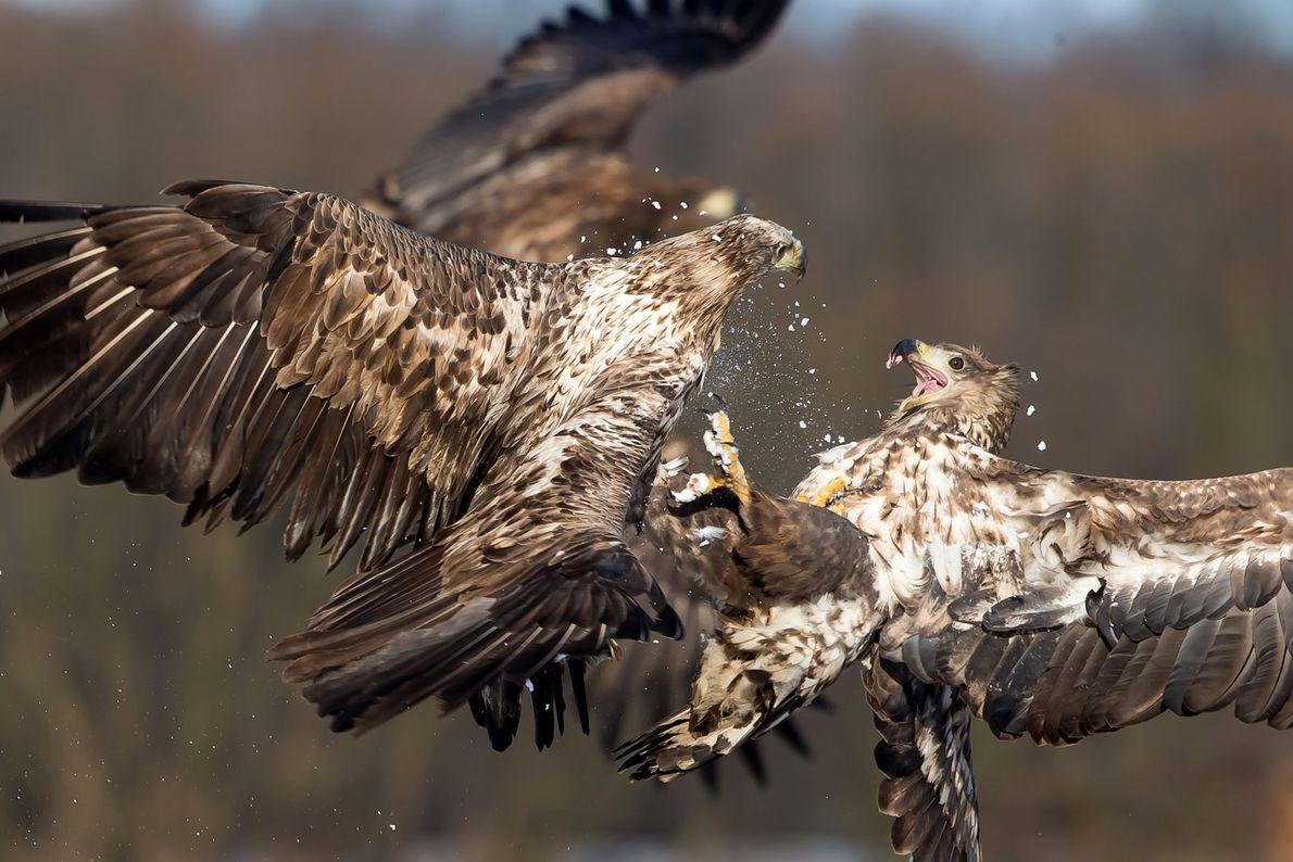 Águilas de cola blanca pelean en pleno vuelo.