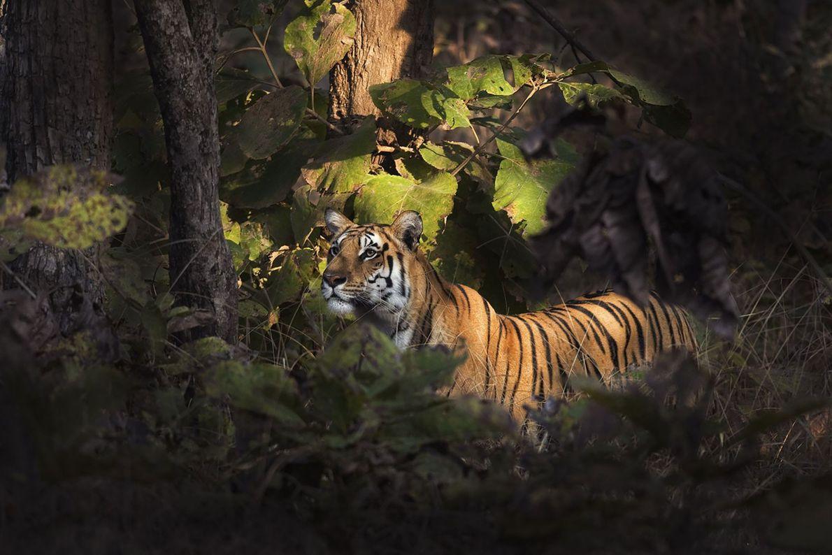 Tigre. Gumtara, Madhya Pradesh, India