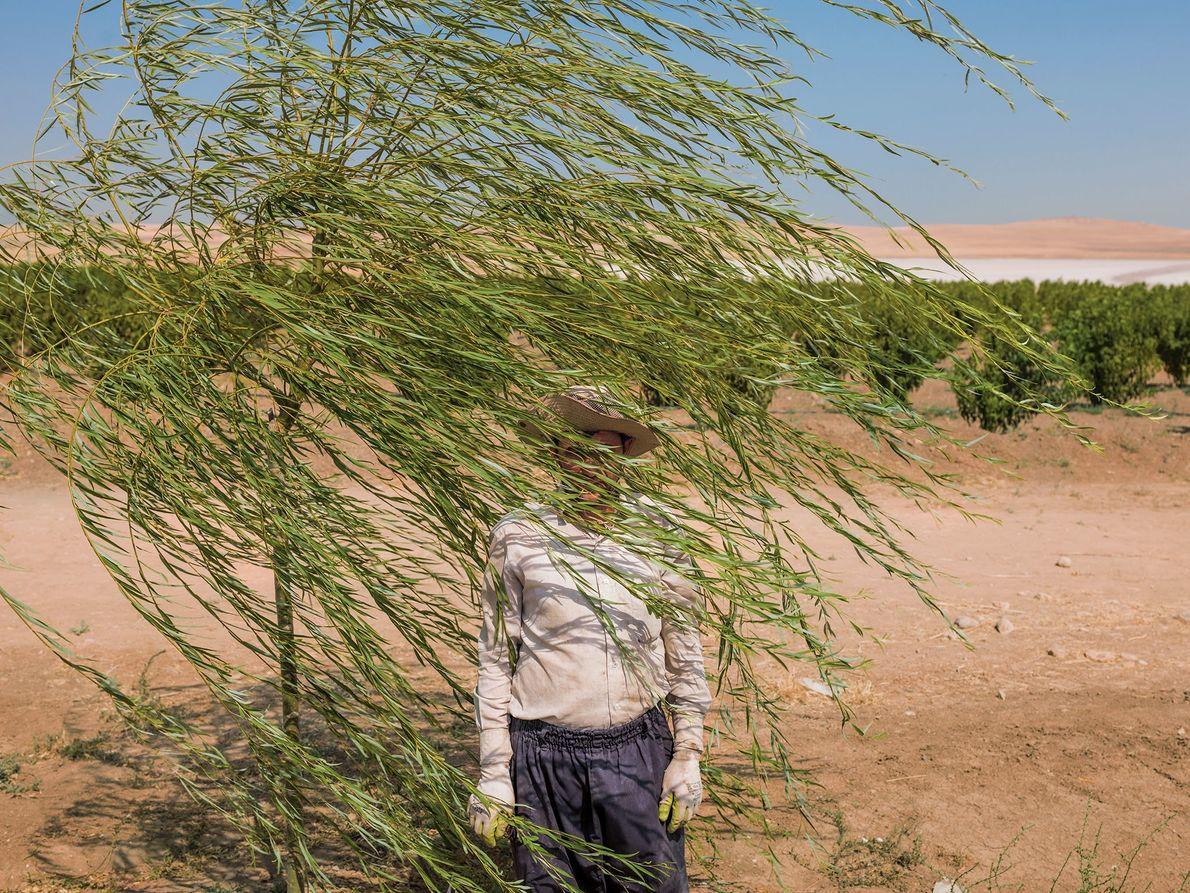 Reza Manafzadeh trabaja en una granja de árboles frutales en el borde del lago Urmia, Irán, ...