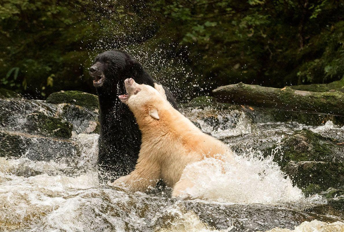 Un oso negro (izquierda) y un oso Kermode pelean en Columbia Británica.