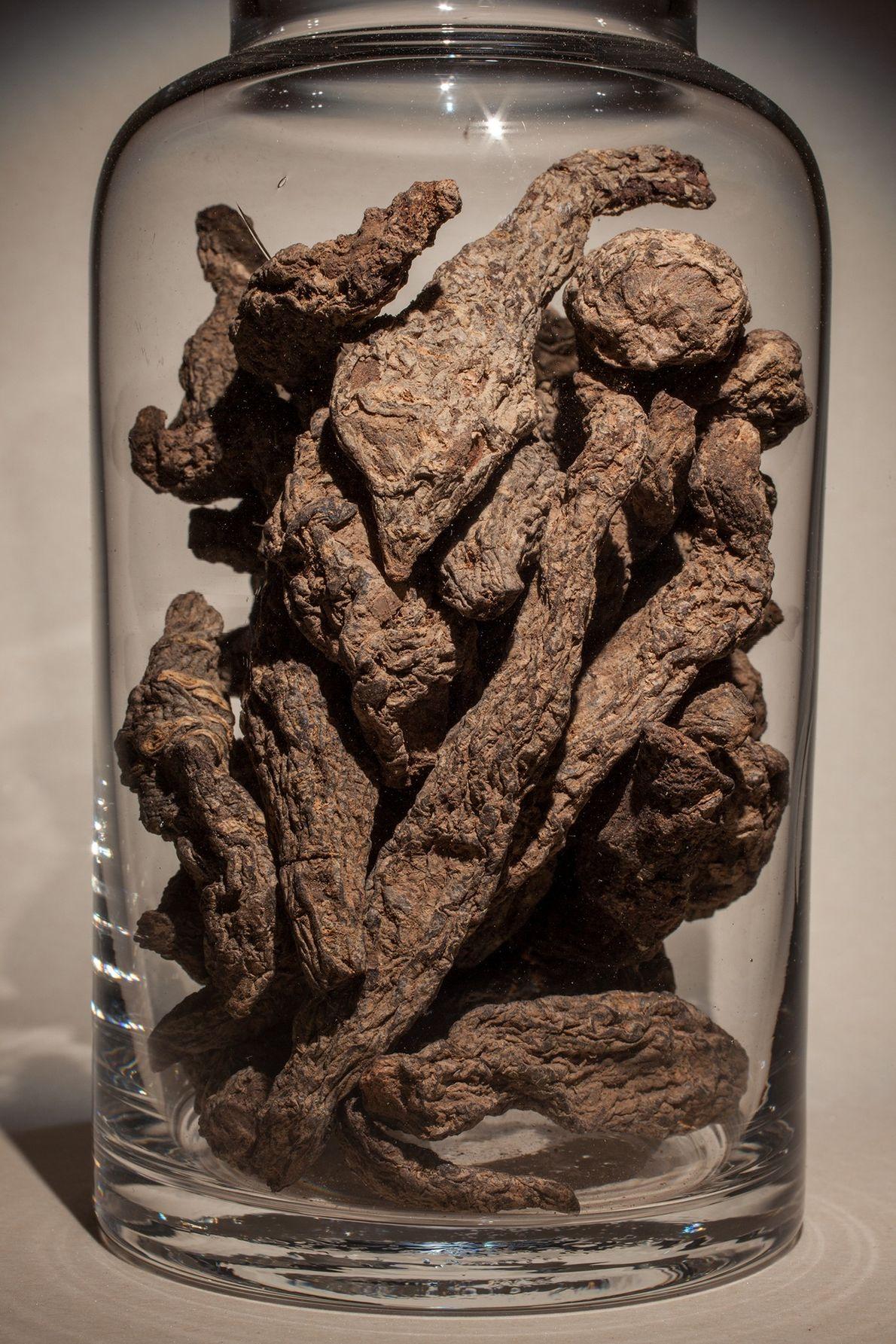Nombre común: Raíz de Rehmannia Latín: Rehmannia glutinosa Chino: Sheng di huang Usos: Reductora de fiebre alta