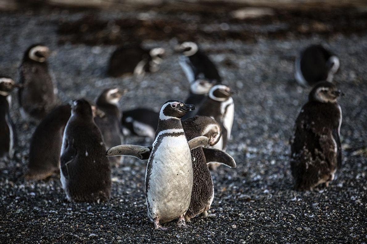 pinguinosrikky2