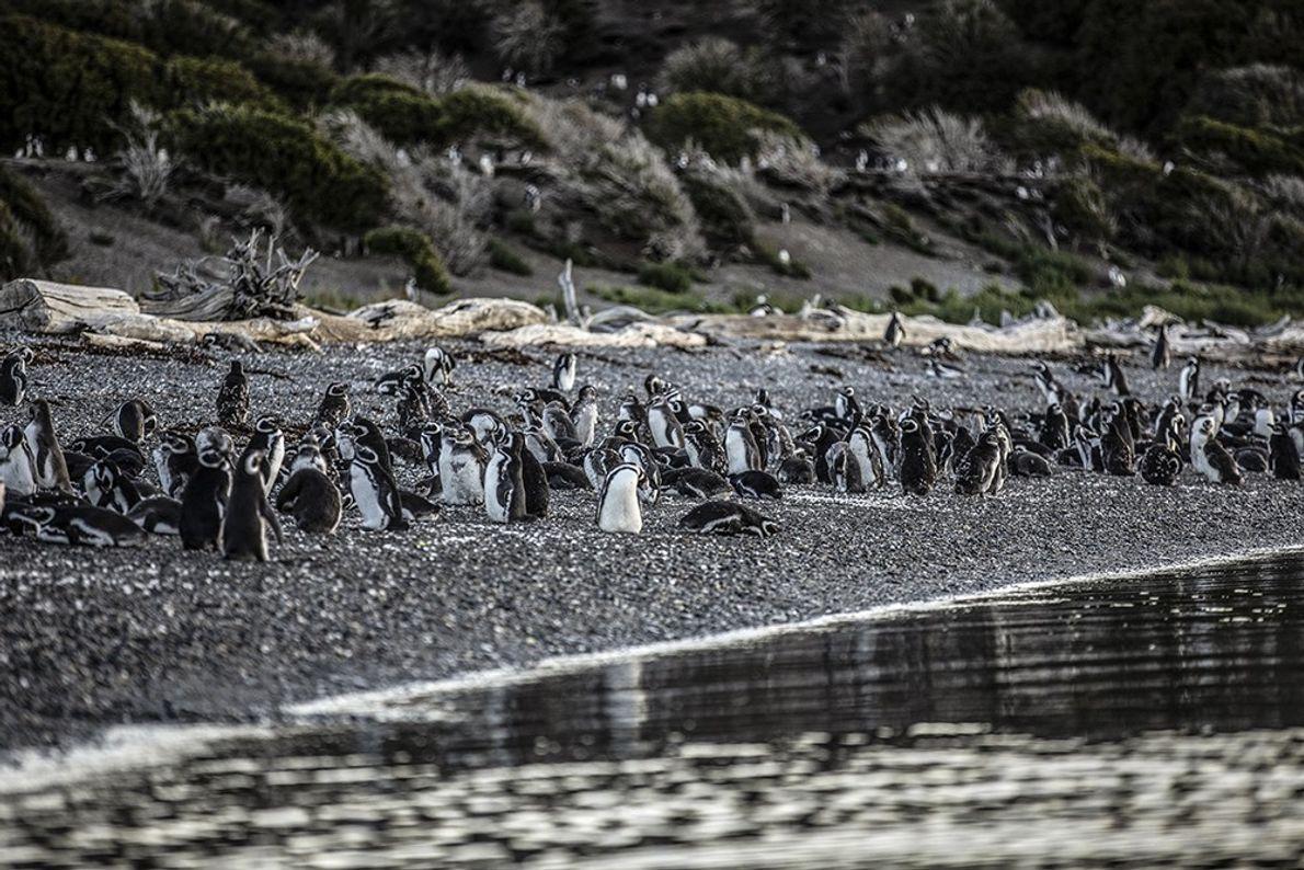 pinguinosrikky1
