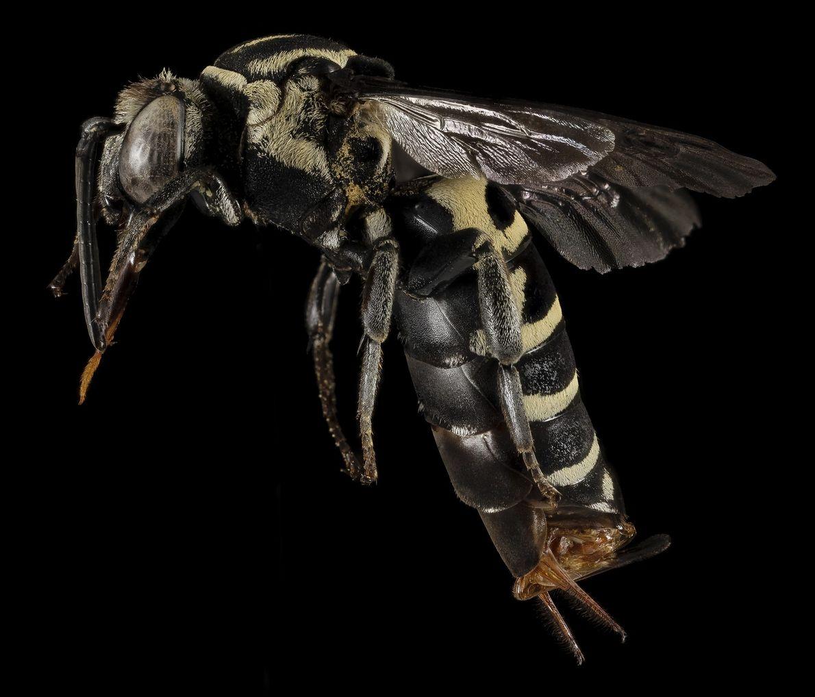 """Este espécimen particularmente raro, """"Triepeolus monardae"""", no se vio durante 20 años. Hace dos años, un ..."""