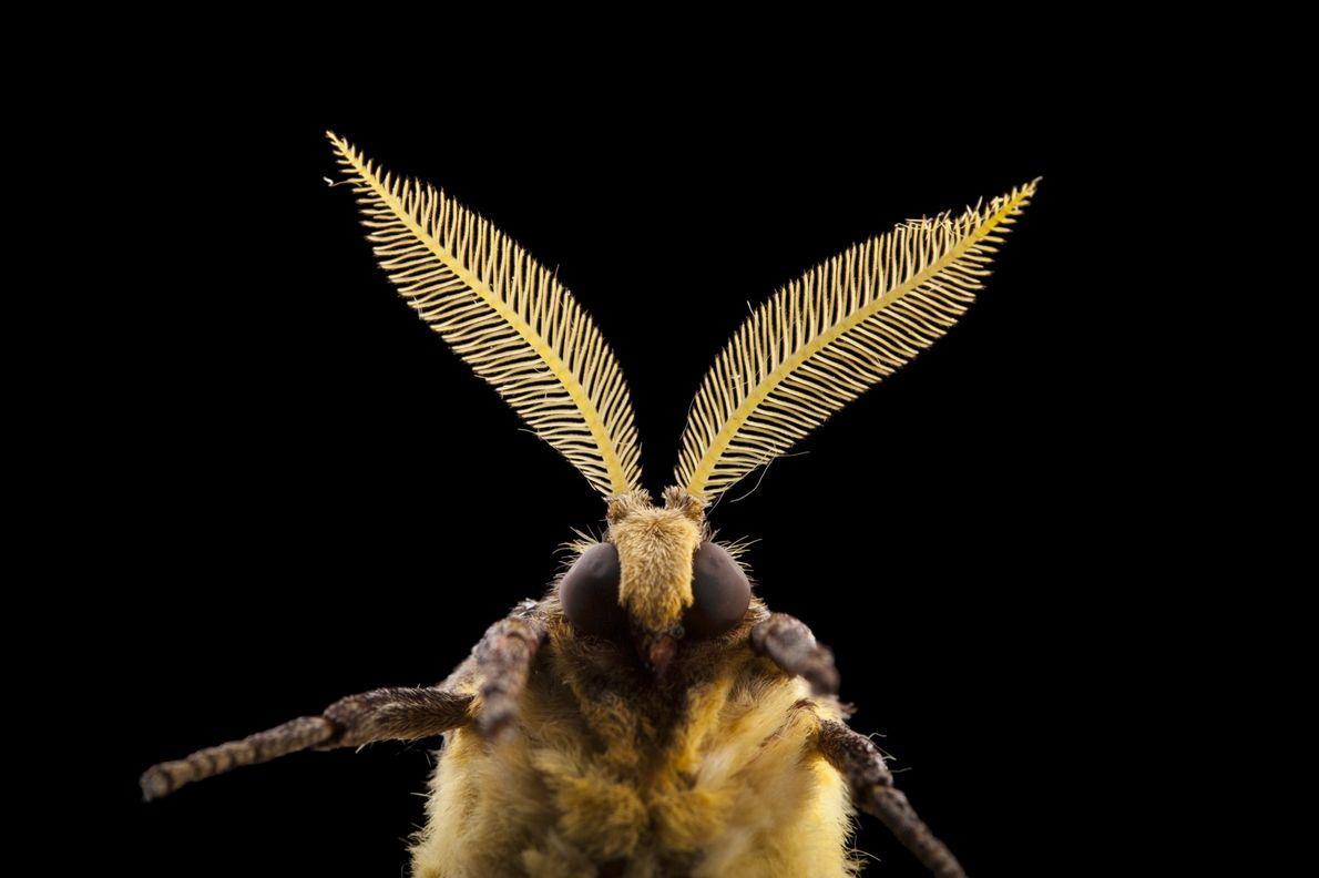 La polilla luna africana, Argema mimosae, es una de lasgigantes polillas gusano de seda. Esta especie ...