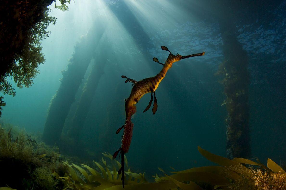 Dragón marino. Flinders, Victoria, Australia.