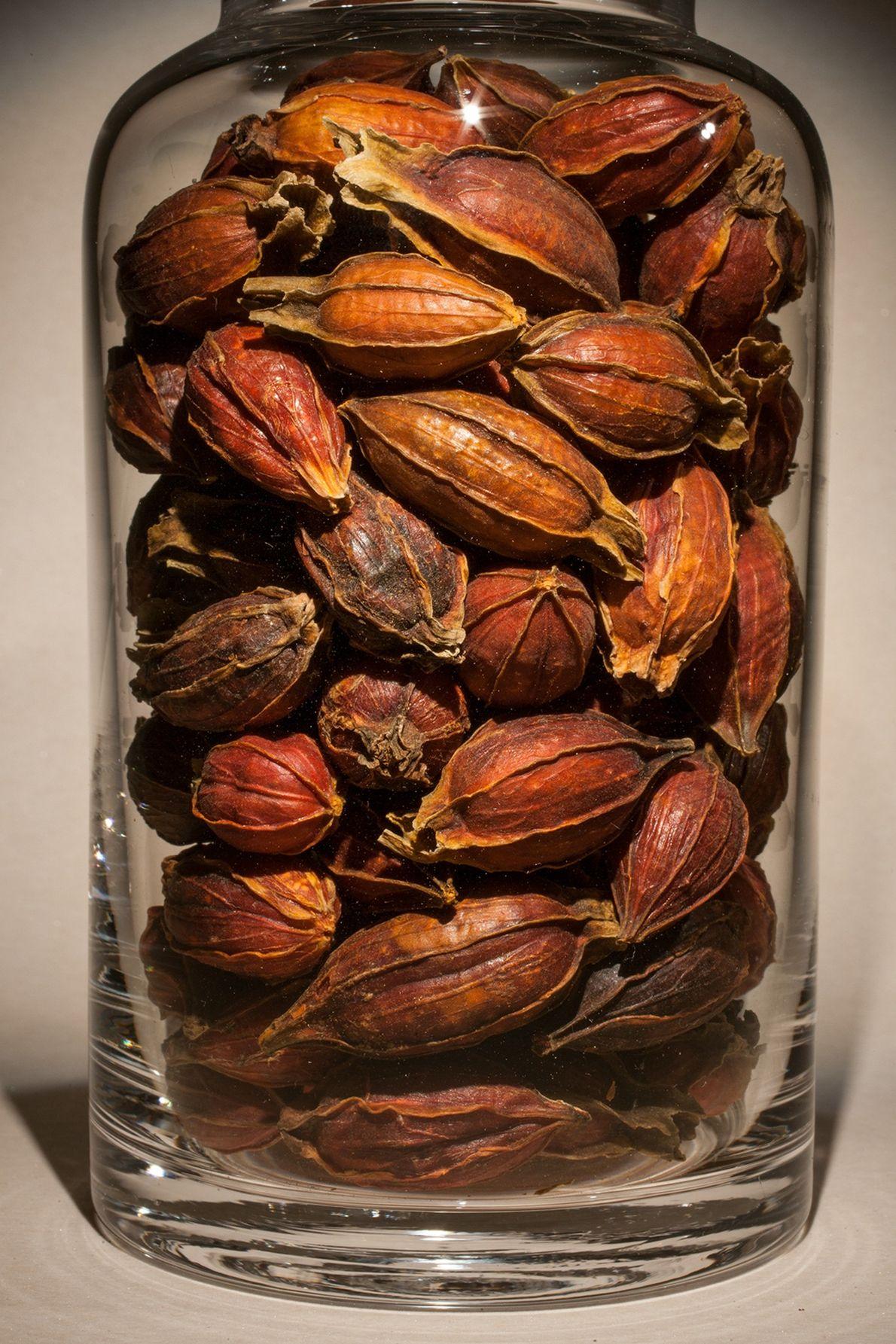 Nombre común: Fruto de jazmín del Cabo Latín: Gardenia jasminoides Chino: Zhi zi Usos: Úlceras bucales