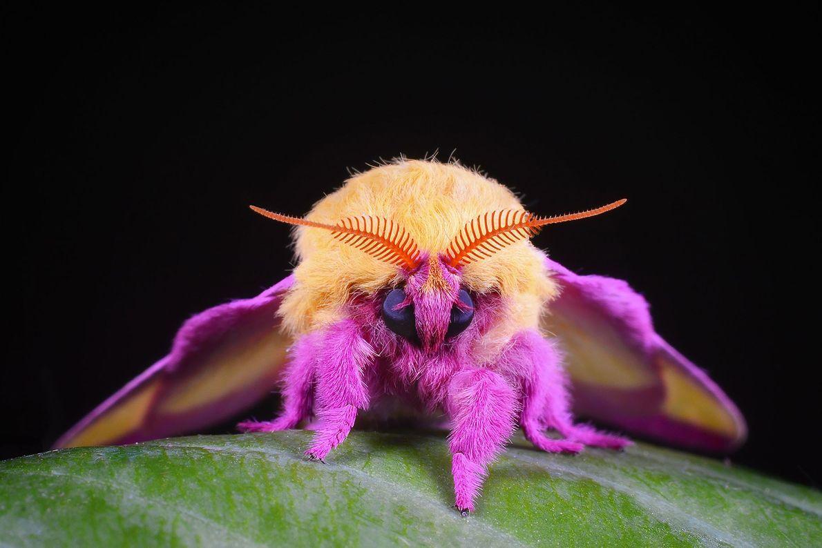 """Polilla rosada del arce (""""Dryocampa rubicunda""""). Evington, Virginia, Estados Unidos"""