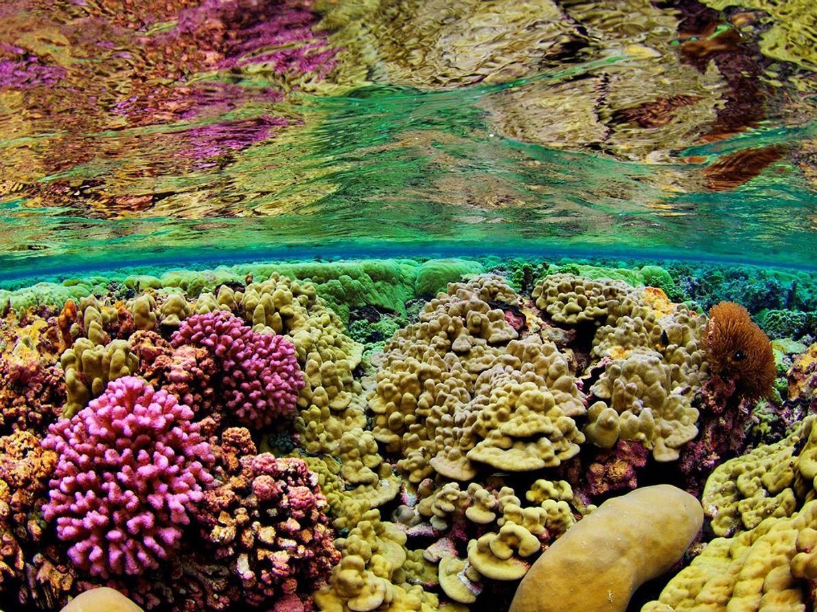 Corales de aguas poco profundas en el Arrecife Kingman (2007). La lejanía del Arrecife Kingman de las …