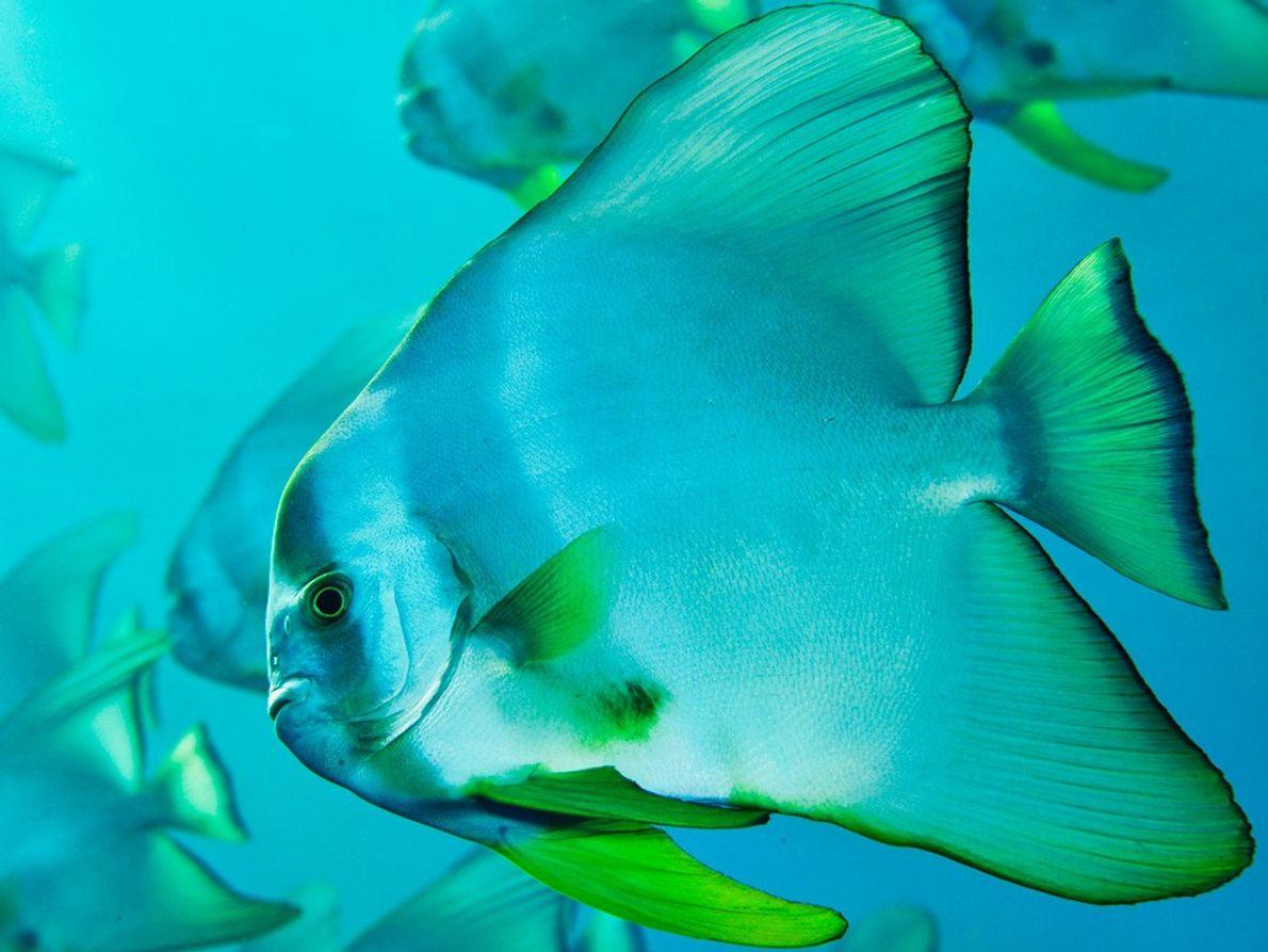 Pez murciélago, Japón (2008). Lejos de la frenética actividad de Japón continental, la vida marina que rodea …