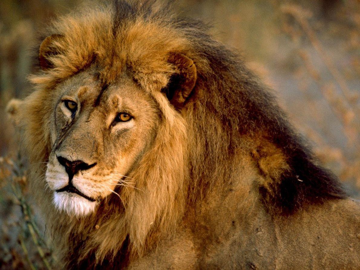 Ferozmente protectores de sus manadas, o familias, los leones machos patrullan extensos territorios que suelen cubrir ...