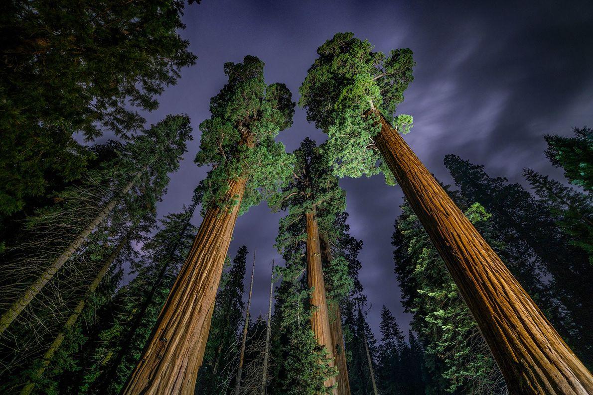 Secuoyas gigantes se elevan en el antiguo bosque del Parque Nacional Sequoia de California.