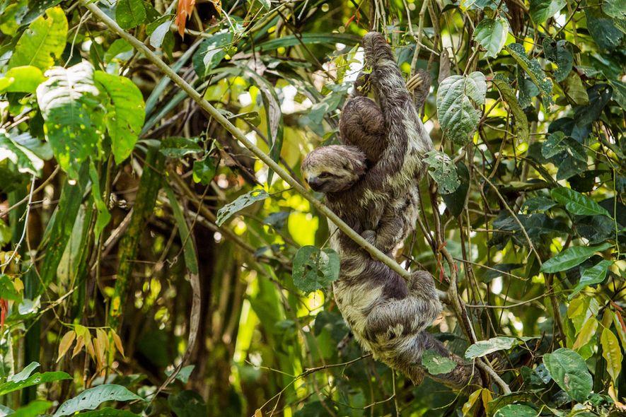 En el Parque Ecológico Januari, un perezoso salvaje y su bebé cuelgan de una enredadera. El ...