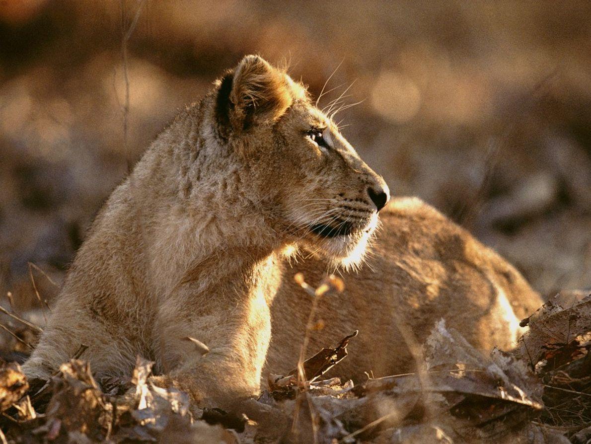 Hay tan solo alrededor de 200 leones asiáticos silvestres. El Parque nacional del Bosque de Gir, ...