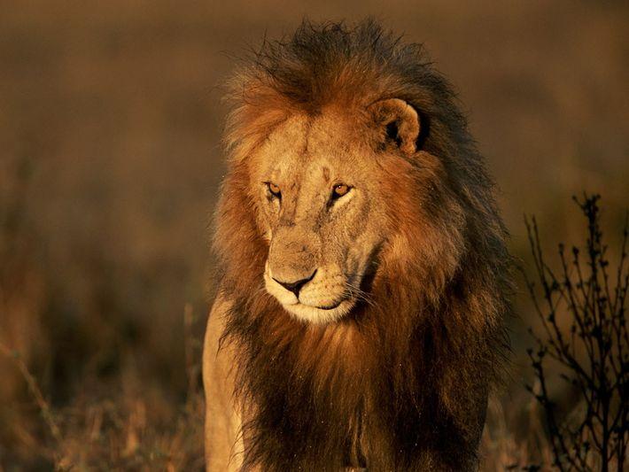 Los leones están amenazados en casi todo el terreno africano. Pero en ningún lado enfrentan más ...