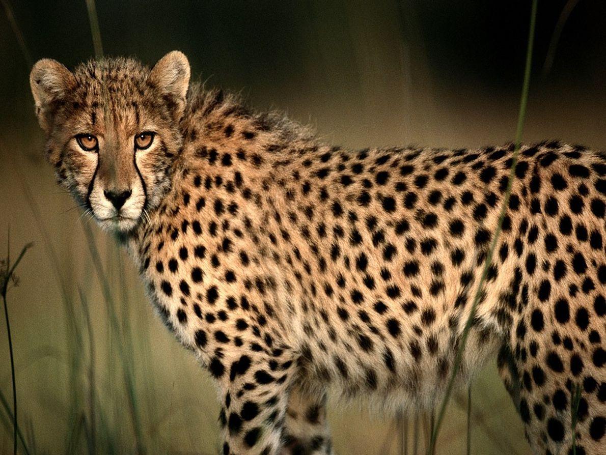 Su gran visión y velocidad hacen de las chitas excelentes cazadores.