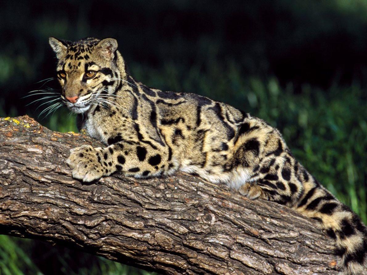 Las panteras nebulosas se hallan entre los pequeños felinos (que ronronean) y los grandes felinos (que ...