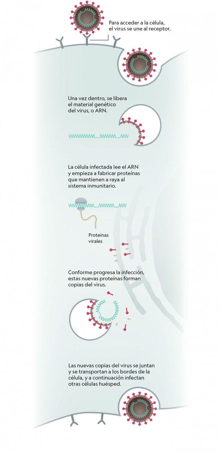Invasión de las células por parte del coronavirus.