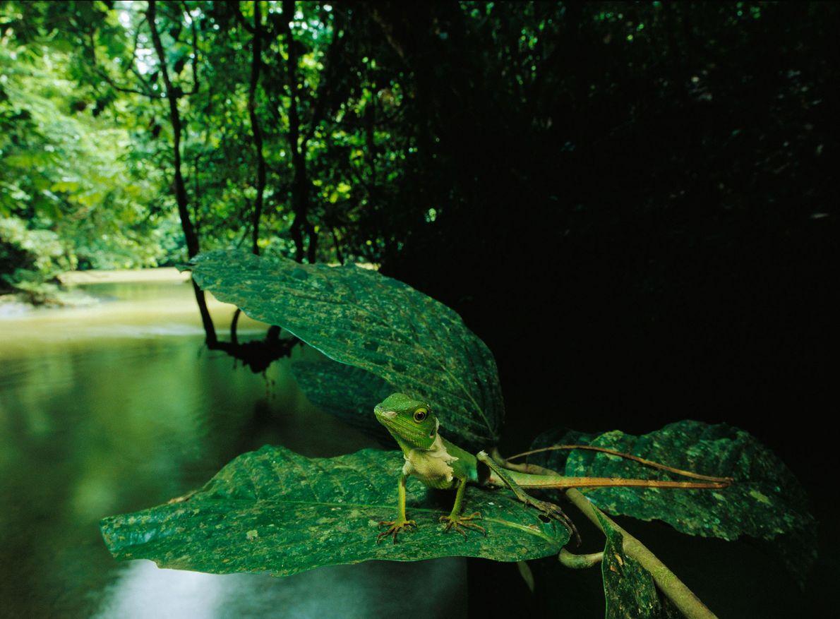 Un lagarto se sienta sobre un arroyo en el Área de Conservación del Valle Danum de ...