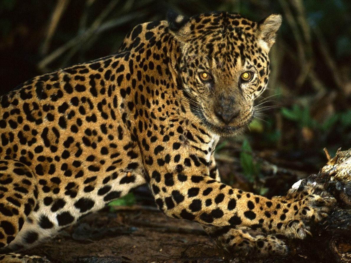 Los jaguares, los felinos más grandes de América del Sur, solían deambular por casi todo el ...