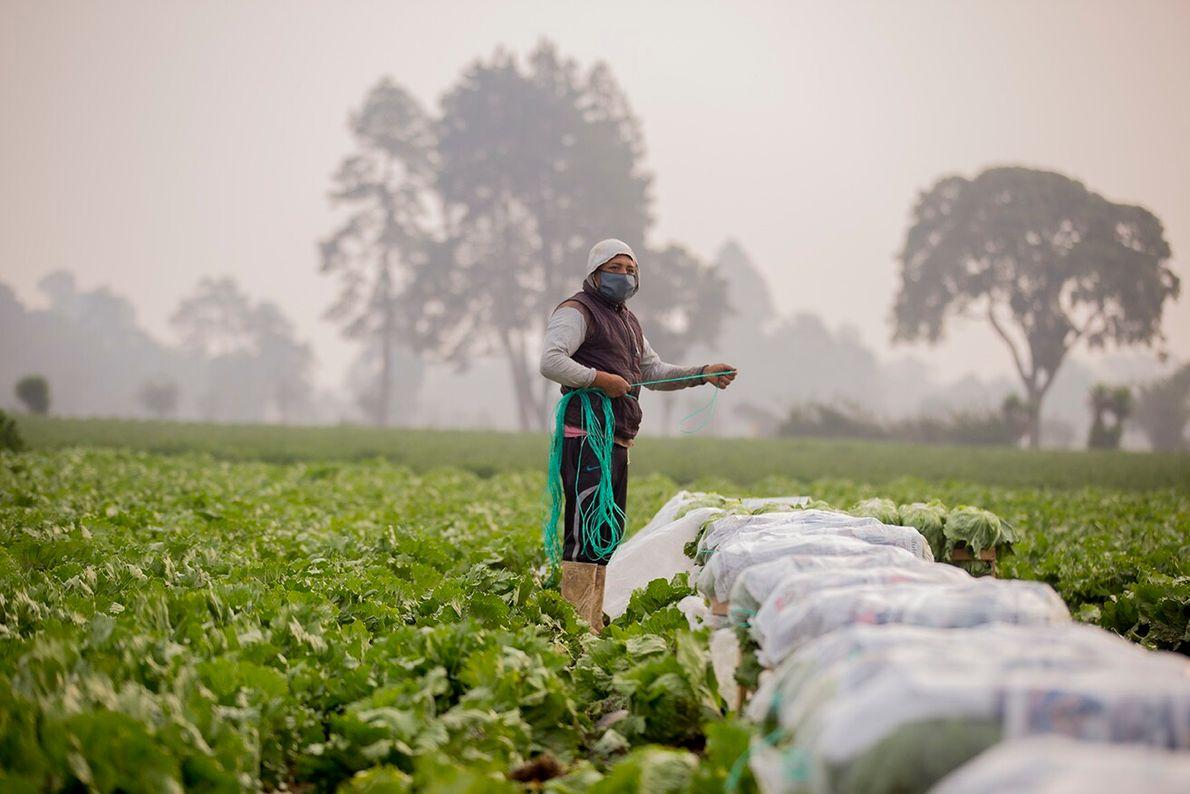 Mario García, un joven trabaja desde tempranas horas de la mañana en las cosechas de lechuga. Una ...