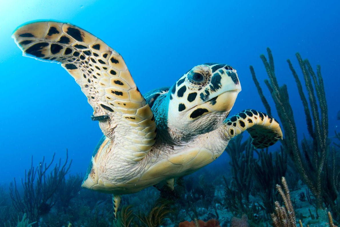 Una tortuga carey nadando con una etiqueta de seguimiento en su aleta en el Little Bahama ...