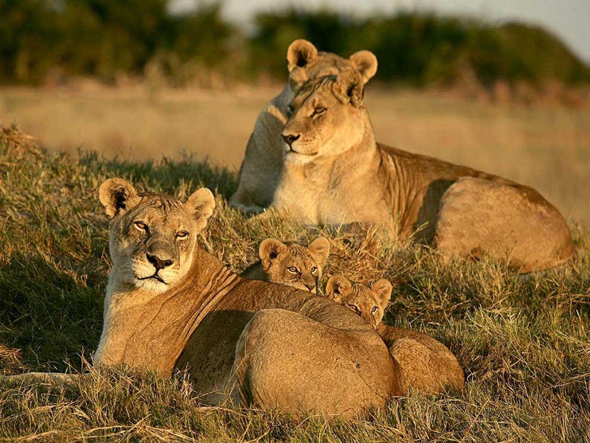 Tres leonas y algunos cachorros descansan sobre el césped en el Delta del Okavango en Botsuana. ...