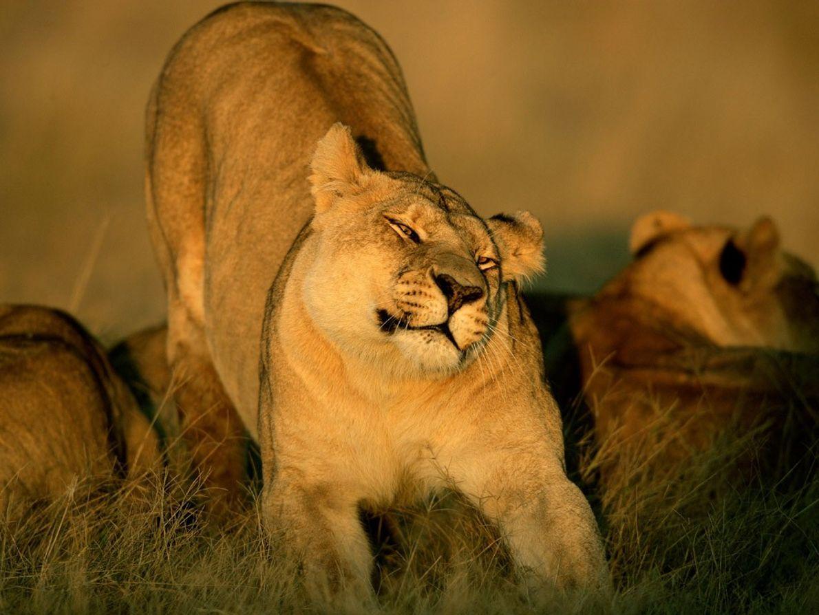 Una leona se estira en el Delta del Okavango en Botsuana mientras otros miembros de la ...