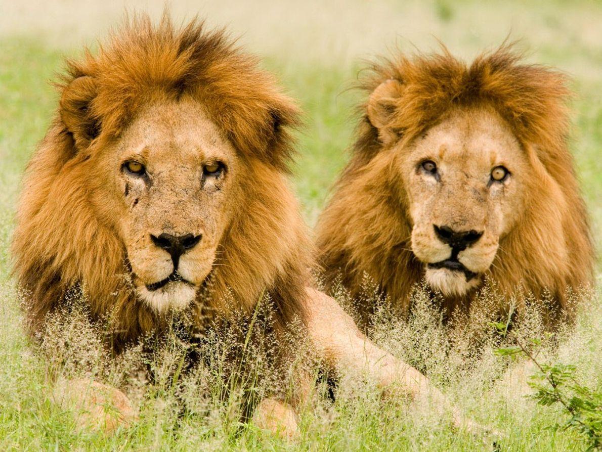 Dos leones machos jóvenes echados sobre el césped en el Delta del Okavango en Botsuana. Una ...