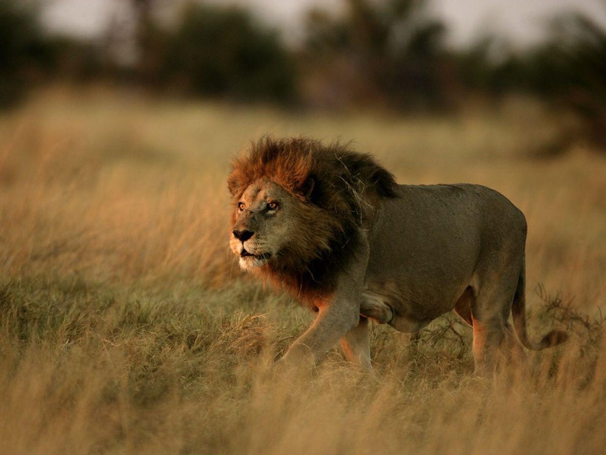 Un león macho adulto camina entre los pastizales en el Delta del Okavango en Botsuana. Los ...