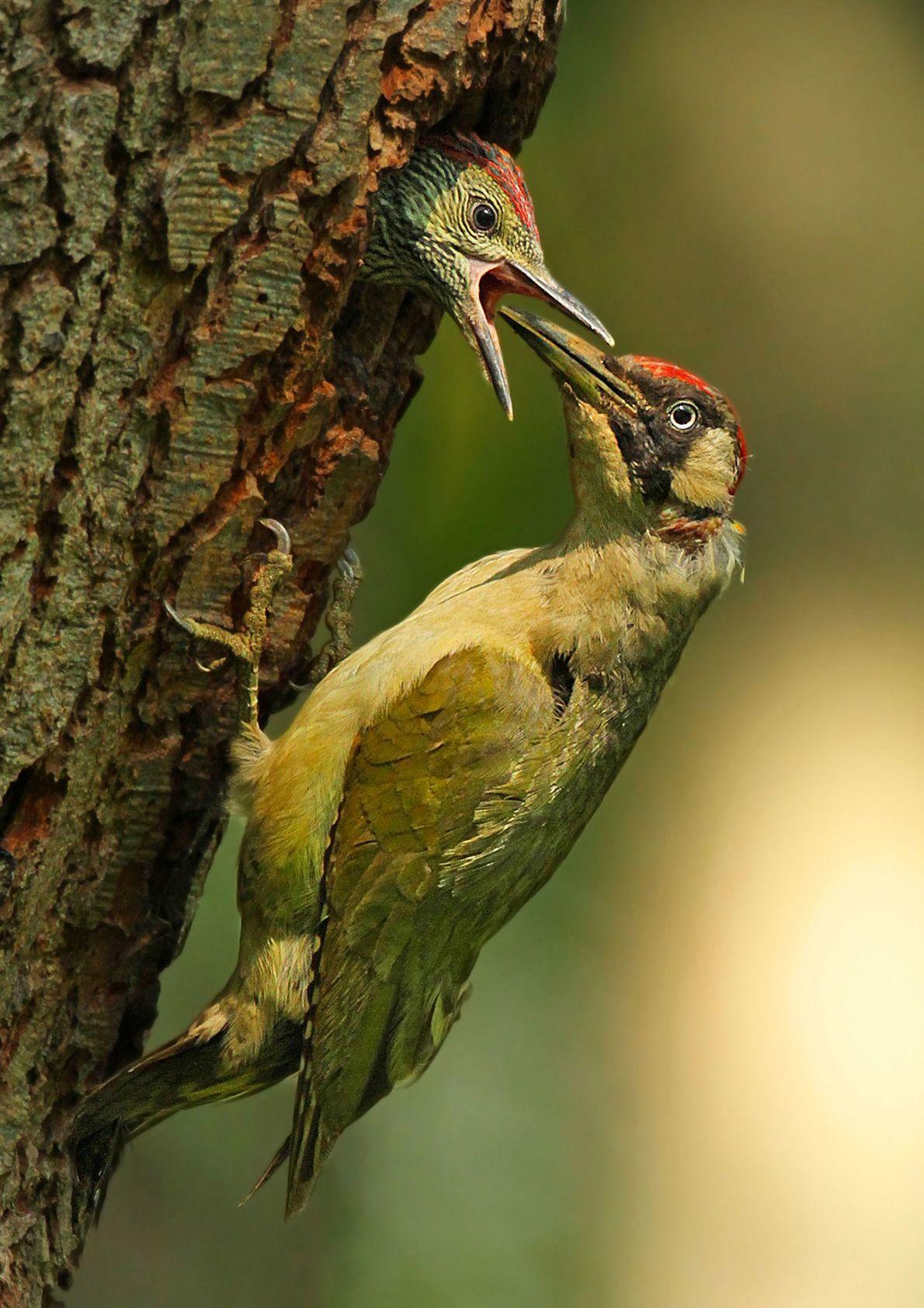 """""""Un carpintero verde alimenta a su polluelo en Surrey, Reino Unido"""". – Jon Hawkins"""