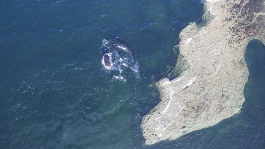 Argentina: captan el momento de apareamiento de dos ballenas francas australes