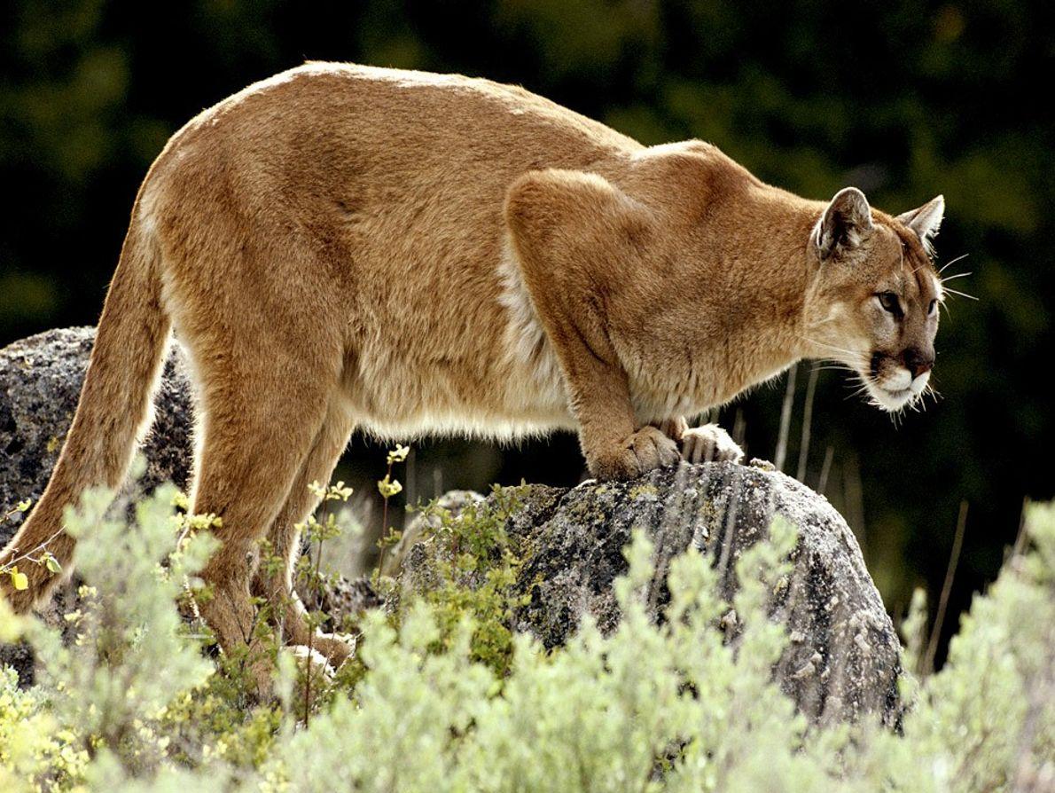 A los leones de las montañas no les agrada compartir su territorio y están en permanente ...