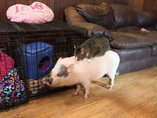 Amistades Insólitas: Una gatita y una cerdita